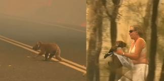 woman saves a koala