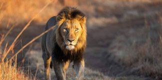 documentaries based on lions